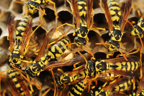 Tips on Wasp Pest Control